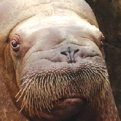 Ayveq the Walrus